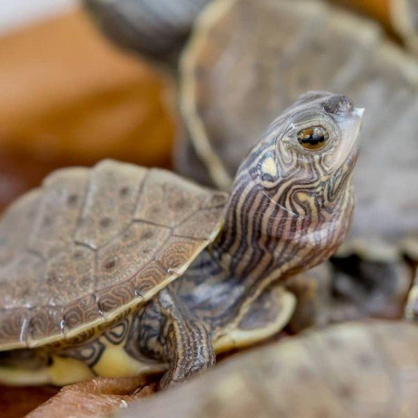 Rùa Bản Đồ Map Turtle 8