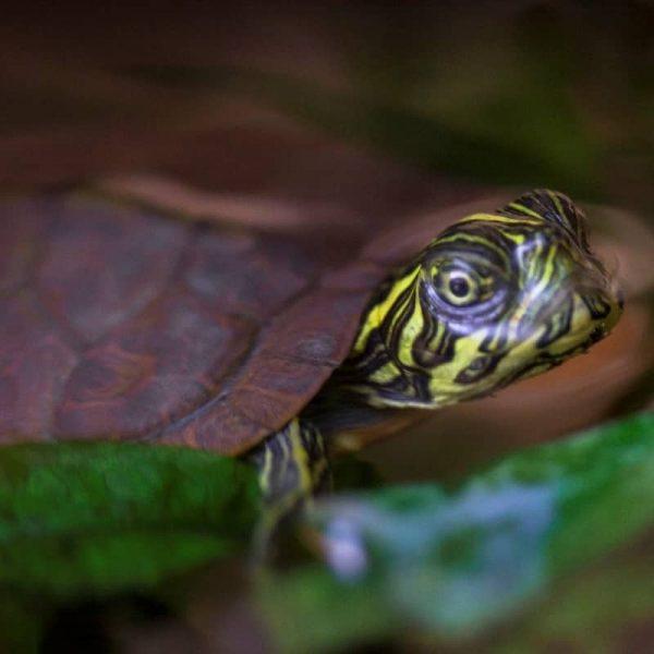 Rùa Bản Đồ Map Turtle 9