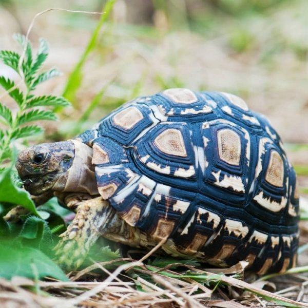 Rùa Da Báo Leopard Tortoise 11