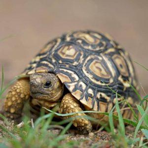 Rùa Da Báo Leopard Tortoise 2