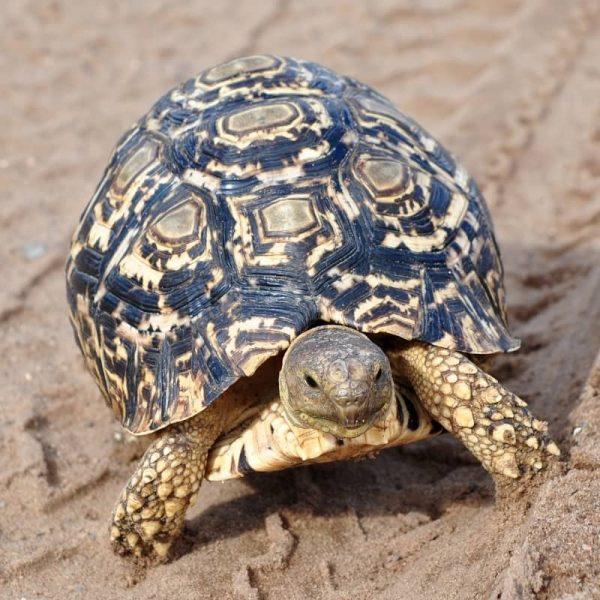 Rùa Da Báo Leopard Tortoise 3