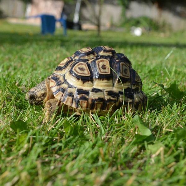 Rùa Da Báo Leopard Tortoise 4