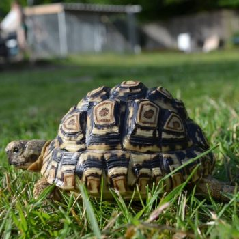 Rùa Da Báo Leopard Tortoise 5