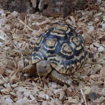 Rùa Da Báo Leopard Tortoise 6