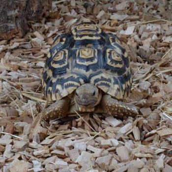 Rùa Da Báo Leopard Tortoise 7