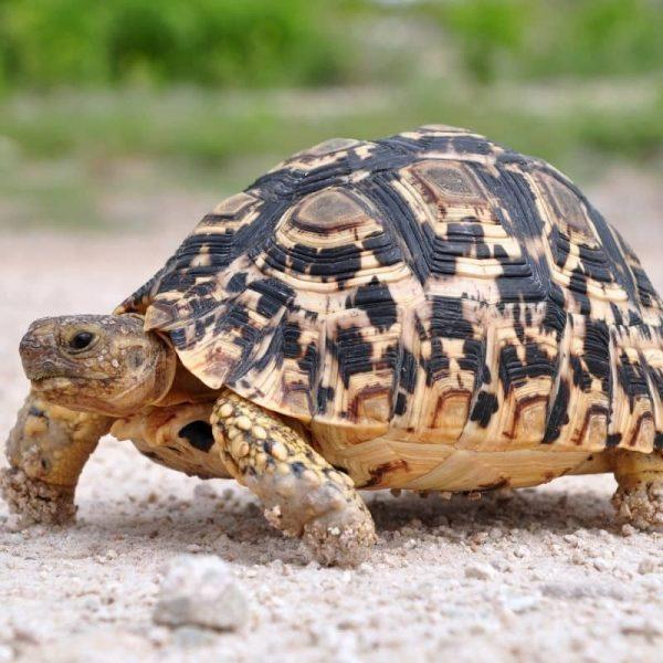 Rùa Da Báo Leopard Tortoise 8