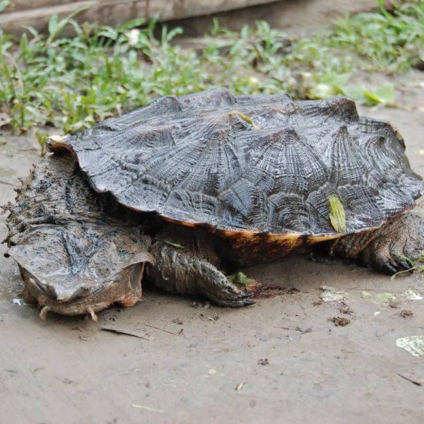 Rùa Lá Mata-mata cổ đại 10