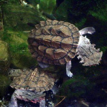 Rùa Lá Mata-mata cổ đại 6