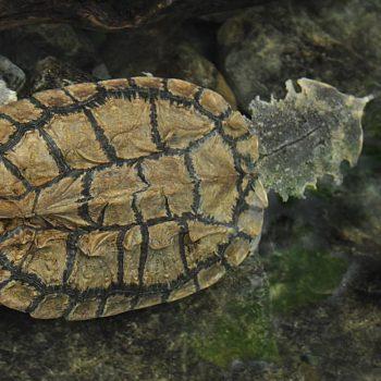 Rùa Lá Mata-mata cổ đại 9