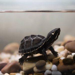 Rùa Xạ Hương Common Musk Turtle 1