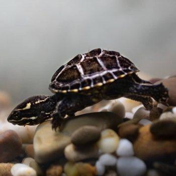 Rùa Xạ Hương Common Musk Turtle 3
