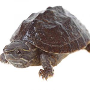 Rùa Xạ Hương Common Musk Turtle 4