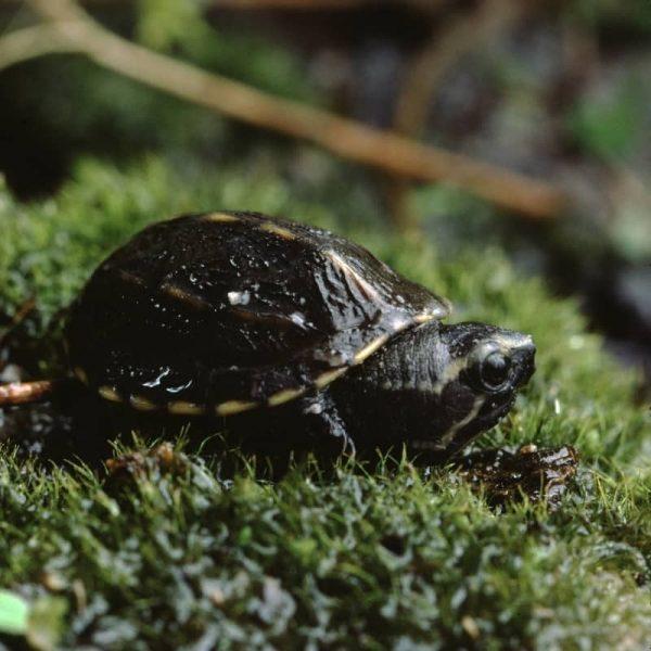 Rùa Xạ Hương Common Musk Turtle 5