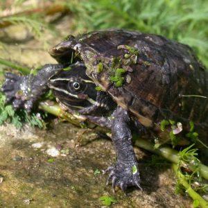 Rùa Xạ Hương Common Musk Turtle 6