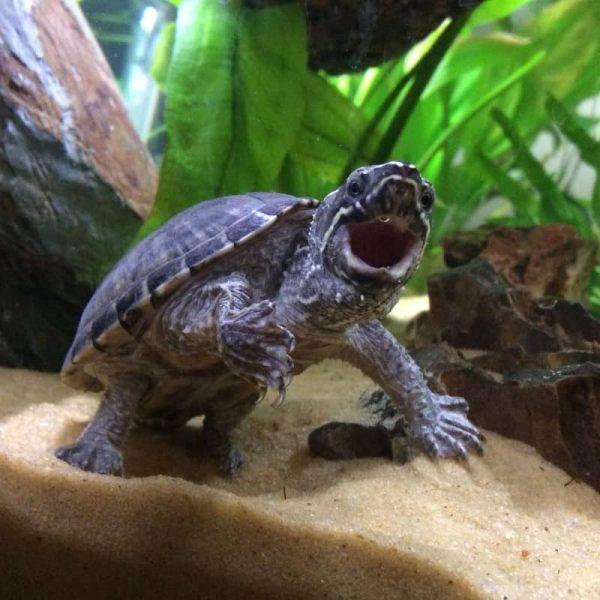 Rùa Xạ Hương Common Musk Turtle 8
