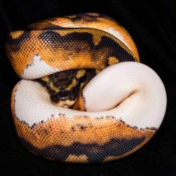 Trăn Bóng Pied Ball Python Tuyệt Đẹp 1