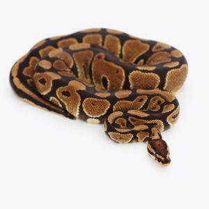 Trăn Bóng Thường Normal Ball Python 7