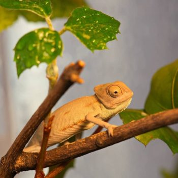 Tắc Kè Hoa Veiled Chameleon 1