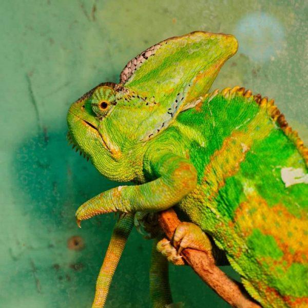 Tắc Kè Hoa Veiled Chameleon 10