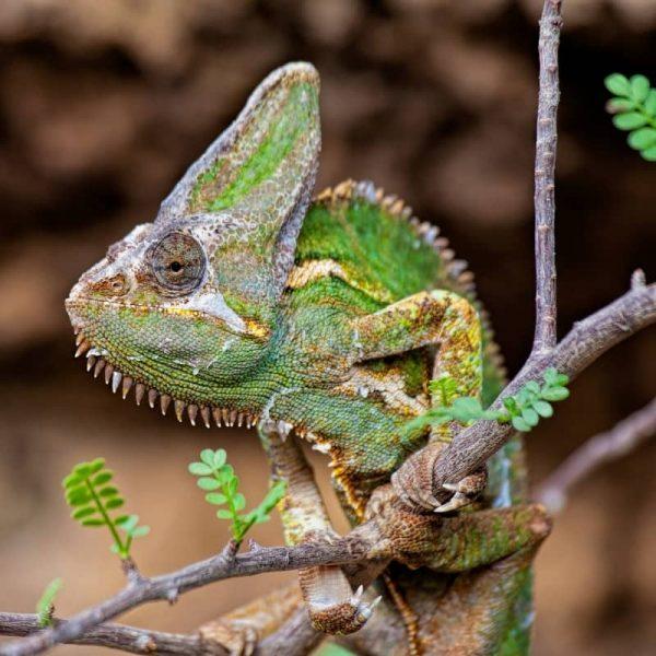 Tắc Kè Hoa Veiled Chameleon 11