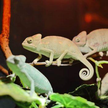 Tắc Kè Hoa Veiled Chameleon 12