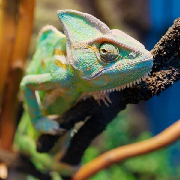 Tắc Kè Hoa Veiled Chameleon 2