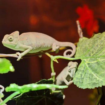Tắc Kè Hoa Veiled Chameleon 3