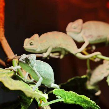 Tắc Kè Hoa Veiled Chameleon 4