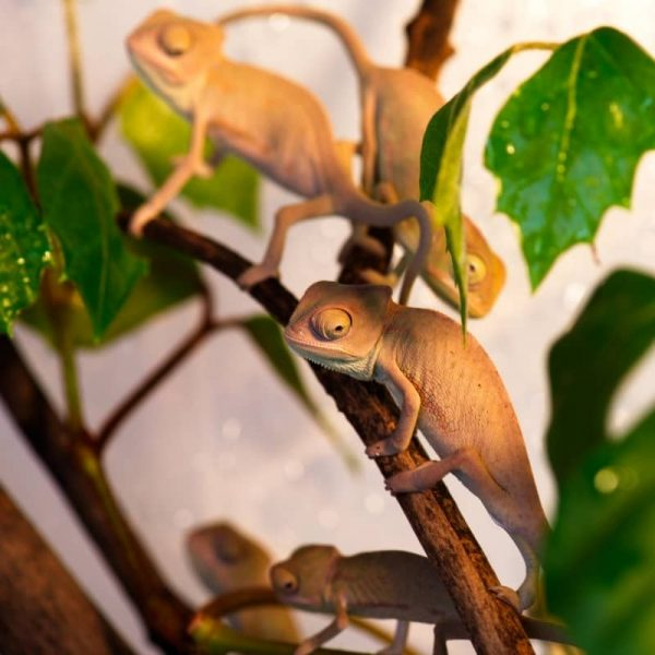 Tắc Kè Hoa Veiled Chameleon 5