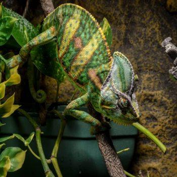 Tắc Kè Hoa Veiled Chameleon 6