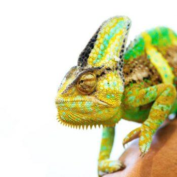 Tắc Kè Hoa Veiled Chameleon 7