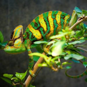 Tắc Kè Hoa Veiled Chameleon 8