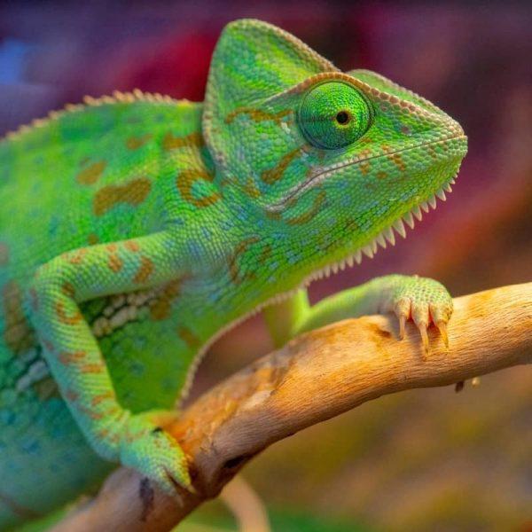 Tắc Kè Hoa Veiled Chameleon 9
