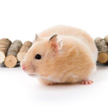 Chuột Hamster Bear 1