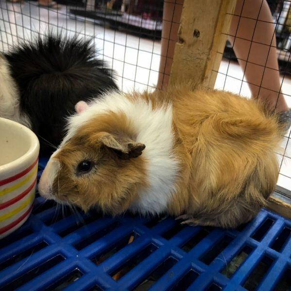 Chuột Hamster Bear 2