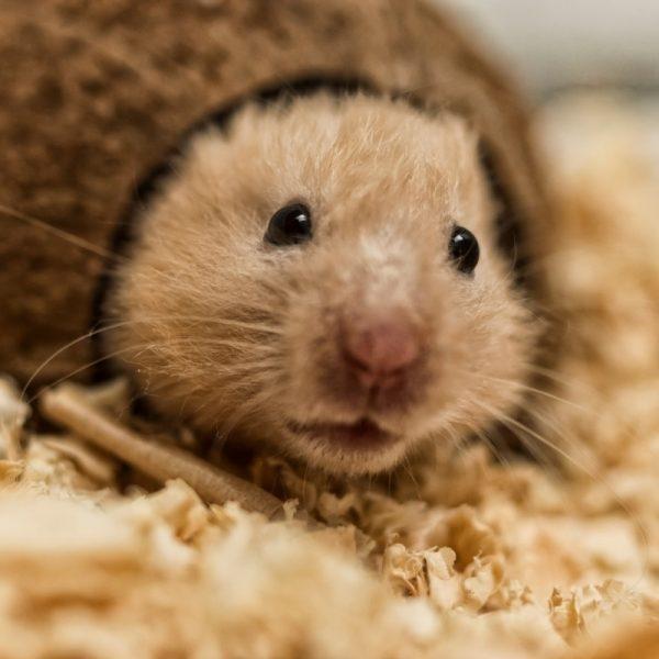 Chuột Hamster Bear 3