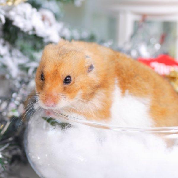 Chuột Hamster Bear 4