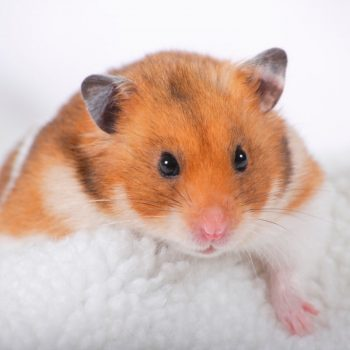 Chuột Hamster Bear 5