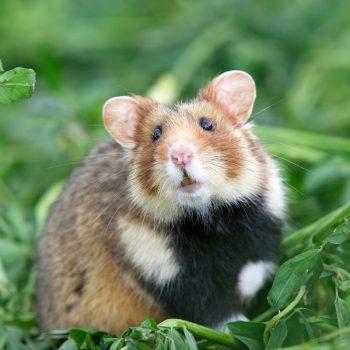 Chuột Hamster Bear 6