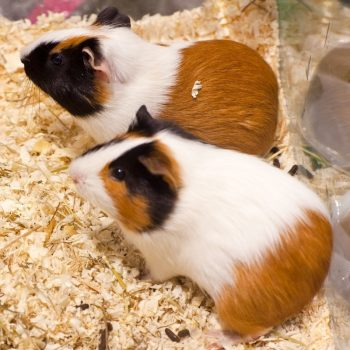 Chuột Hamster Bear 7