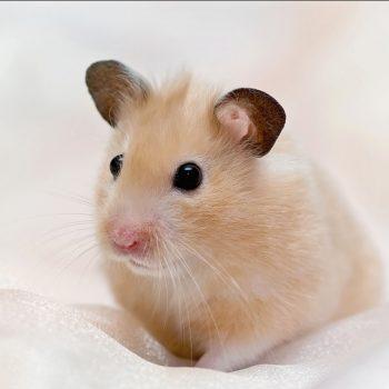 Chuột Hamster Bear 8