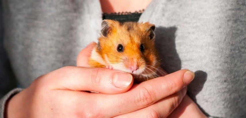 Chuột Hamster Bear rất đáng nuôi