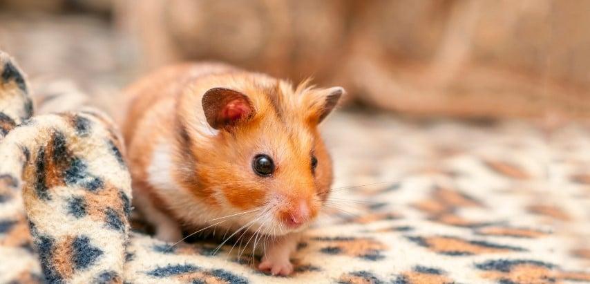 Hamster Bear được nhiều người yêu thích