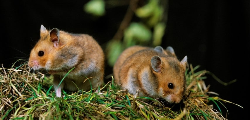 Chuột Hamster Bear trong tự nhiên