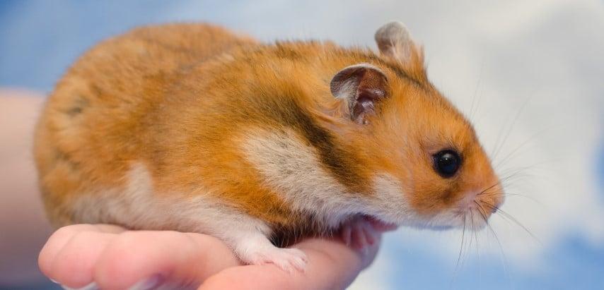 Hình dáng Syrian Hamster