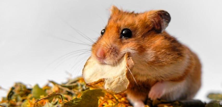 Chuột Hamster ăn tạp nên khá dễ nuôi
