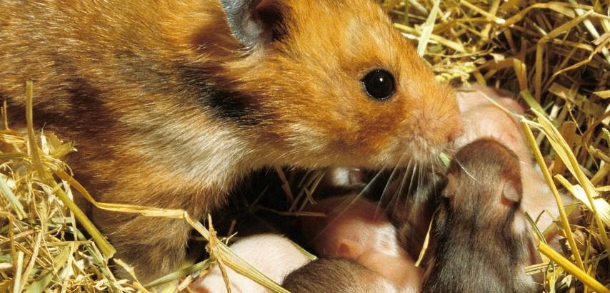 Chuột Gấu sinh sản nhanh và nhiều