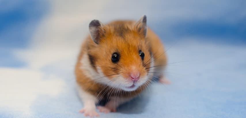 Mức giá cho một bé chuột Gấu khá rẻ
