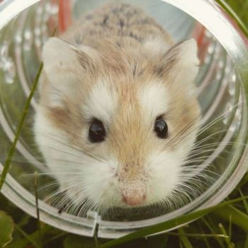 Chuột Hamster Campbell 1