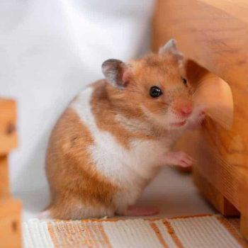 Chuột Hamster Robo 11